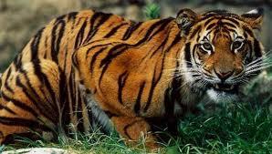 tiger-hunting1